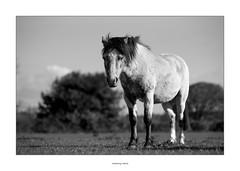 Feeling alone (AnthonyCNeill) Tags: horse pferd black white schwarz weiss blanco negro noir blanc mono monochrome equine equestrian nikon d750 85mm field sad emotion