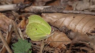 Zitronenfalter - Schmetterling