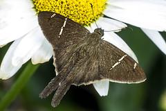 Teleus Longtail on Ox-eye daisy (PriscillaBurcher) Tags: urbanusteleus teleuslongtail saltarinascoludas hesperiidae pyrginae mariposasdecolombia butterfliesfromcolombia l1570188