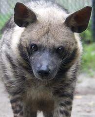 Gotta love that face (ucumari photography) Tags: ucumariphotography stripedhyena hyaenahyaena animal mammal naples florida fl zoo may 2018 dsc8821 specanimal