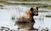 Hyena, cooling off after a big feed. Amboseli Park, Kenya. (welloutafocus) Tags: hyena amboseli kenya safari predator