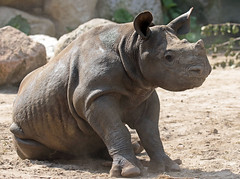Black Rhino Mara Blijdorp BB2A9484 (j.a.kok) Tags: rhino rhinoceros blackrhinoceros blackrhino babyneushoorn neushoorn mara animal africa afrika zwarteneushoorn blijdorp mammal zoogdier dier herbivore