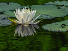 Water Lilly Reflection (clarkcg photography) Tags: waterlily lily lotus water reflection green satuarted saturatedsaturday deepgreen impressive impression