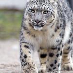 Snow leopard walking... thumbnail