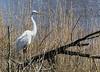 Great Egret (stevebfotos) Tags: select greategrets egrets aigrettes mating pairing wetlands delaware lewes canarycreek greatmarsh shorebirds birds