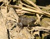 Hey Little One (mcnod) Tags: mcnod frog troyhill elkridge may 2018 toad