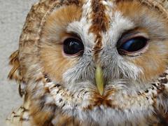 DSC07657 (guyfogwill) Tags: 2018 birds brandonsbirthday devon gbr guyfogwill may owls paignton tawnyowl unitedkingdom paigntontorquay