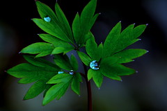 Leaves from Dicentra spectabilis (Sylvia Sassen) Tags: drops green plant spring