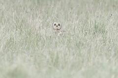Hypnotique (Alexmgt) Tags: hiboudesmarais hibou rapace owl shortearedowl photographieanimalière animalier sauvage wild regard campagne nature