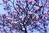 Cylburn Arboretum ~ 'mazing Magnolia (karma (Karen)) Tags: baltimore maryland cylburnarboretum parks trees magnolia blossoms dof bokeh hbw topf25
