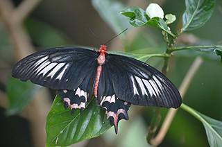 Atrophaneura semperi or Bat Wing perched on leaf