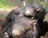 wombat Duisburg BB2A7568 (j.a.kok) Tags: wombat australie australia buideldier dier baby babywombat motherandchild moederenkind duisburg mammal zoogdier animal