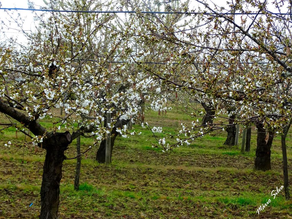 Águas Frias (Chaves) - ... as cerdeiras (cerejeiras) em flor ...