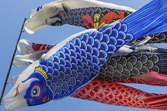 Wind in the Koinobori (DanÅke Carlsson) Tags: japan japanese koinobori tradition boys childrens day kodomo no hi carp celebration may wind