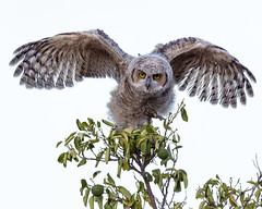 Not Ready for Flight Yet (dan.weisz) Tags: owl owlet greathornedowl raptor birdofprey tucson bird