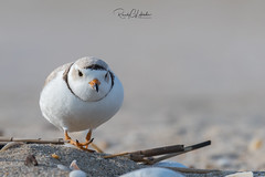 Piping Plover | 2018 - 15 (RGL_Photography) Tags: birding birds birdwatching charadriusmelodus endangeredspecies gardenstate gatewaynationalrecreationarea jerseyshore monmouthcounty mothernature newjersey nikonafs600mmf4gedvr nikond500 ornithology pipingplover plover sandyhook shorebirds us unitedstates wildlife wildlifephotography