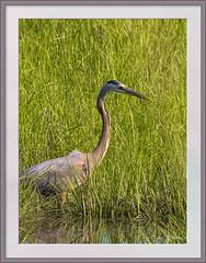 Blue Heron on the Hunt (stevebfotos) Tags: blueheron shorebird birds delawarebay delaware lewes canarycreek greatmarsh topaz telephoto