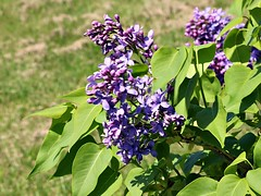 Lilacs Blooming In Front Yard 016 (Chrisser) Tags: flowers lilacs shrubs syringavulgaris oleaceae nature ontario canada canoneosrebelt6i canonefs1855mmf3556isstmlens gardening garden fourseasons spring closeups
