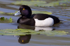 Tufted Duck (Kingfisher1951 David Ward) Tags: wildfowl tufteddick hatchpond