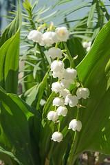 Garden delight (atranswe - working in the garden) Tags: dsc4288 sweden sverige västernorrland ångermanlalnd väja n62°5818e17°42 garden trädgård lilyofthevalley liljekonvalj flower blomma ute out outside plant atranswe