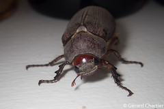 photo-2247332.jpg (GeeC) Tags: animalia arthropoda beetles cambodia chafers coleoptera insecta kohkongprovince melolonthinae nature scarabbeetles scarabaeidae scarabaeoidea tatai