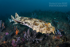 Wobbegong swimming at the pinnacle (Nicolas & Léna REMY) Tags: basspoint marinelife nauticam ocean wildlife fish shark australia shellharbour wobbegong underwater thepinnacle nsw inon pacificocean diving mer photography plongée poisson requin scuba sea wild
