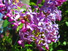 IMG_4524 5-22-2018 (PGK88) Tags: flowers purple lilac spring sunlight springtime outdoors closeup blooming blooms blossoms pgk88 365 2018 nature