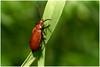 Cardinal Beetle (vegetus aer) Tags: woodwaltonfen greatfen greatfenproject wildlifetrust bcnwildlifetrust nnr cambridgeshire cardinal beetle cardinalbeetlesony a77m2 sigma 105mm macro