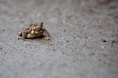 Erdkröte [] Common toad (l3ooni) Tags: erdkröte commontoad europeantoad toad lurche amphibia froschlurche anura hyloidea kröten bufonidae echtekröten bufo oberwald karlsruhe l3 l3ooni boni kröte bufobufo