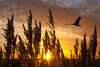 Flight over the Reeds (adrians_art) Tags: muteswan flight wings reeds flants flowers silhouettes shadows sunrise dawn sky clouds wildlife birds nature