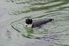 African Penguin. (LisaDiazPhotos) Tags: africa rocks african penguin lisadiazphotos sandiegozoo sandiegozooglobal san sandiegozoosafaripark sandiegosafaripark sdzsafaripark sdzoo sdzsp