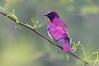 Violet Backed Starling. (LisaDiazPhotos) Tags: africa rocks violet backed starling lisadiazphotos sandiegozoo sandiegozooglobal san sandiegozoosafaripark sandiegosafaripark sdzsafaripark sdzoo sdzsp