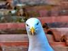Gull (markb120) Tags: bird fowl flyer flier animal beak bill pecker rostrum neb nib plumage feathering feather coverts coat dress gull seagull mew seamew