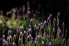 Lavender (rod_b_k) Tags: ifttt 500px landscape nature outdoor plants samaipata santa cruz cosmos flower bed