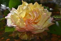 DSC_6771 (griecocathy) Tags: rose feuille perle eau éclat pétale reflet bille argile jaune rosée marron vert