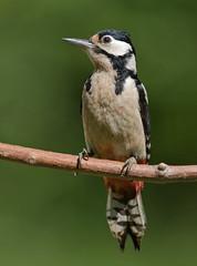Great Spotted Woodpecker - Buntspecht (rengawfalo) Tags: birder birding outdoor dendrocoposmajor greatspottedwoodpecker buntspecht specht vogel bird animal wildlife tier macro