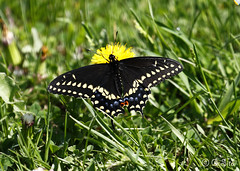 Black Swallowtail (Swift Wings) Tags: outdoors animal insect butterfly blackswallowtail swallowtail black nature wildlife wings