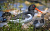 Oyster catcher and chick (10000 wishes) Tags: bird nature beauty beak chick wildlife lake blashford reeds