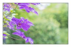 Waldrebe (günter mengedoth) Tags: porst color reflex auto mc 55 mm f 12 porstcolorreflexautomc55mmf12 pentaxk1 pentax k1 vintagelens manuell pk waldrebe schlingpflanze