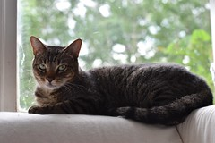 the elusive Cousin (rootcrop54) Tags: cousin mackerel tabby male window neko macska kedi 猫 kočka kissa γάτα köttur kucing gatto 고양이 kaķis katė katt katze katzen kot кошка mačka gatos maček kitteh chat ネコ tiger stripes