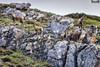 Rebaño de rebecos - Herd of chamois (danielfi) Tags: rebecos chamois animales animals fauna wildlife naturaleza nature asturias asturies somiedo montaña mountain ngc herd rebaño