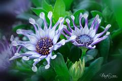African Daisy (marko.erman) Tags: african daisy osteospermum beautiful sony ilce7rm2 blue petal white flower plant nature floral bokeh macro fleur plante bois brillant