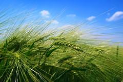 Barley (ZdenHer) Tags: barley sky green blue field canonpowershotg7xmarkii macro