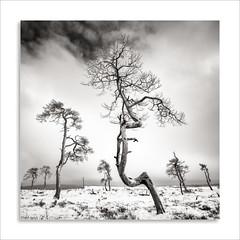 Hautes Fagnes - Noir Flohay (David Jonck) Tags: davidjonck naturereserve nikon winter wallonie nature highfens belgië belgique snow sneeuw hogevenen baraquemichel tiltshift 24mm landschap landscape belgium noirflohay 24 nikor eupen hiver wallonië d850 hautefagnes