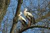 the storks are back 1 (photos4dreams) Tags: gersprenz münster hessen germany naturschutz nabu naturschutzgebiet photos4dreams p4d photos4dreamz nature river bach flus naherholung storch störche stork storks adebar canoneos5dmark3 canoneos5dmarkiii