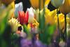 Have a blessed Easter! (preze) Tags: tulpen tulips tulipan flower pflanze plant blüte blossom flora blütenblätter petals bunt britzergarten britzgarden sunny sonnig freundlich heiter efm55200 blumenbeet flowerbed blume ostern easter
