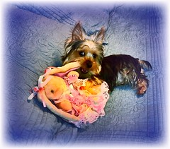 Headline:  No Eggs Delivered!  Beau:  I ate the WHAT?!! (Sherrianne100) Tags: puppy dog cute yorkshireterrier yorkie humor easter