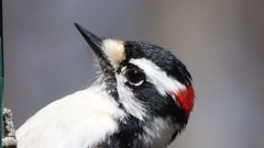 Profile (blazer8696) Tags: 2018 brookfield ct connecticut ecw obtusehill t2018 tabledeck usa unitedstates downy downywoodpecker dowo picidae piciformes picoides picoidespubescens picpub pubescens woodpecker