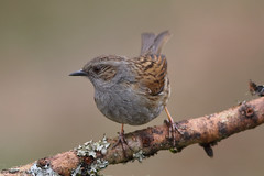 Dunnock (Georgiegirl2015) Tags: birds bbcwalesnature garwantmerthyr wildlife wales woodlands canon countryside ef300mm avian spring dellalack april2018 trees forest moss dunnock accentors