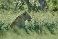 ZA5_1814 (lucvanderbiest) Tags: krugernp leeuwin